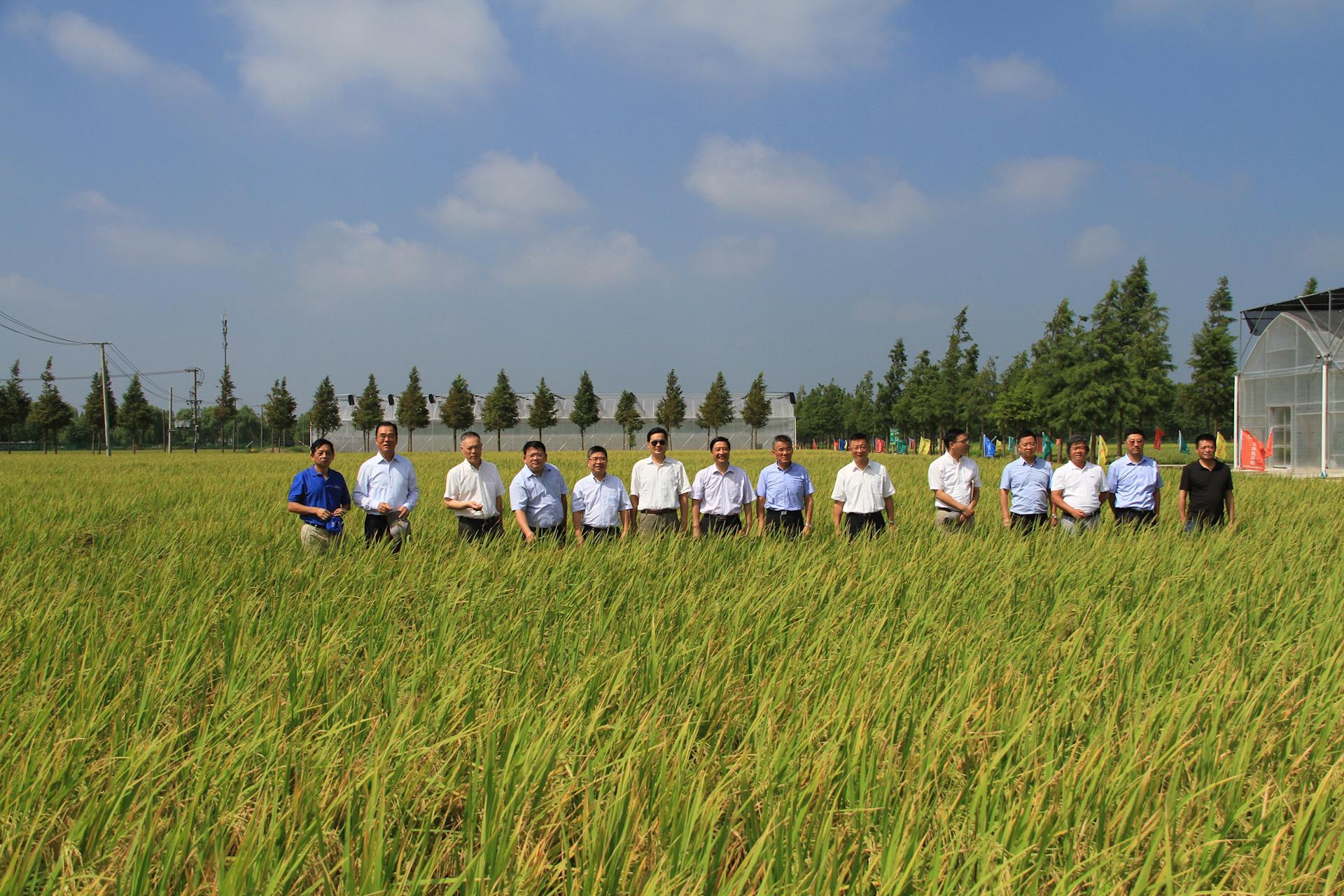 """上海水稻第一镰""""八月香""""在金山廊下收割"""