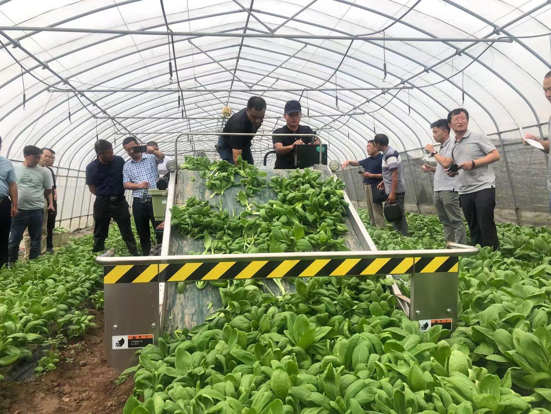 选育宜机品种 农机农艺融合 小棵菜实现机械化采收保障夏淡叶菜供应